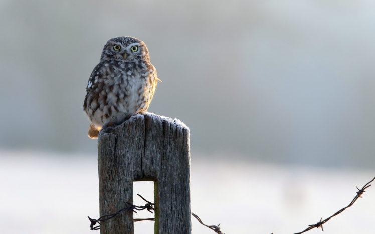 bird, Owl, Fence, Winter HD Wallpaper Desktop Background