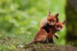 foxes, Babies, Cubs, Kits, Cute