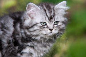 british, Longhair, Kitten, Whiskers