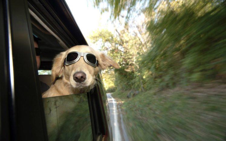 animals, Dogs, Funny HD Wallpaper Desktop Background