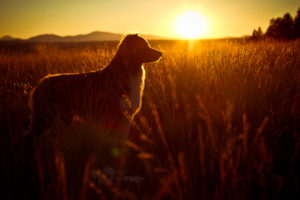 dog, Sunset