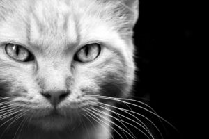 animals, Cats, Felines, Face, Eyes, Whiskers, Fur, Black, White, Monochrome