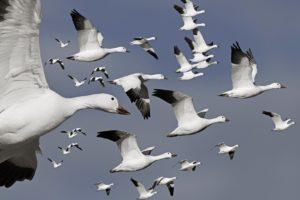 birds, Flock, Flight, Geese