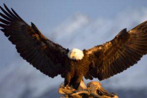 nature, Birds, Animals, Bald, Eagles
