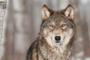 wolves, Glance, Animals, Wolf