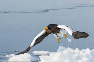 sea, Eagle, Bird, Predator, Flight, Wings, Winter