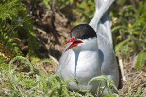 arctic tern, Arctic, Tern, Bird