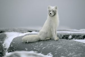 arctic, Fox, Foxes