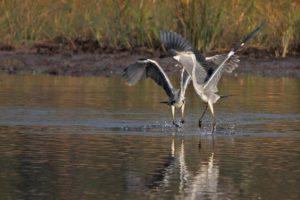 river, Shore, Reeds, Heron, Dance
