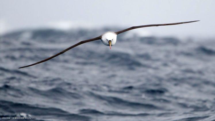 albatross, Seabird, Bird, Birds HD Wallpaper Desktop Background