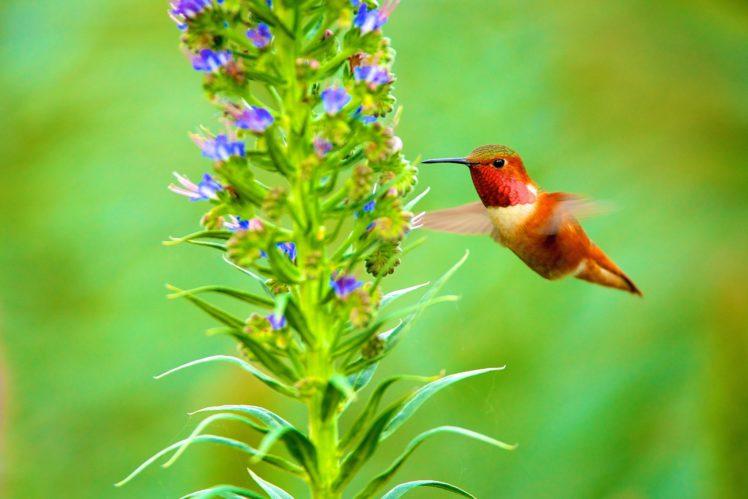 birds, Colibri, Animals HD Wallpaper Desktop Background