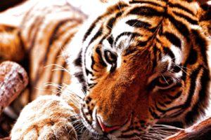 tiger, Cat, Predator, Cats, Fantasy, Asian, Oriental, Nature, Jungle