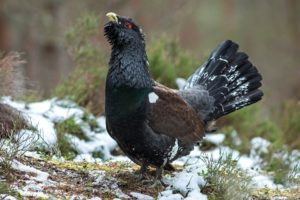 animals, Birds, Black, Grouse