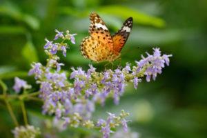 butterfly, Argyros, Flowers, Macro
