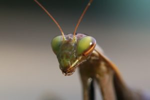 insects, Mantis, Mante, Religieuse, Nature, Macro, Closeup, Zoom