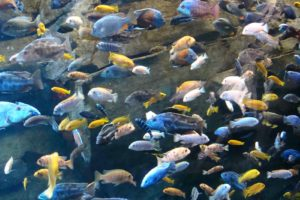 cichlid, Tropical, Fish