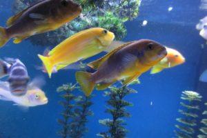 cichlid, Tropical, Fish
