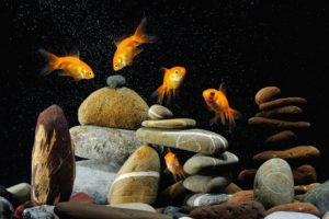animals, Goldfish, Aquarium