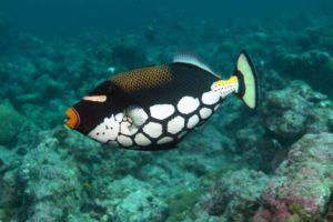 triggerfish, Ocean, Sea, Tropical, Underwater, 1tfish, Fish
