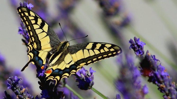mariposa, Amarilla, Negra, Insecto, Animales HD Wallpaper Desktop Background