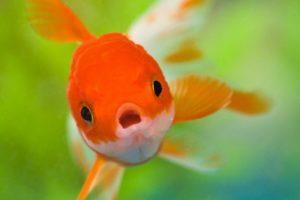 peces, Dorado, Rio, Animales