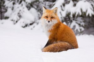 winter, Snow, Nature, Landscape, Fox