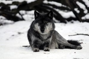 wolves, Snow, Animals, Wolf