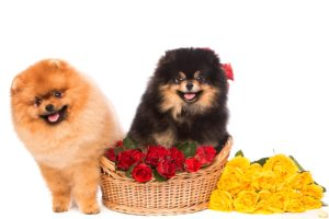 dogs, Roses, Spitz, Two, Wicker, Basket, White, Background, Animals, Flowers, Wallpapers