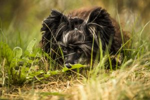 dogs, Chinese, Crested, Grass, Black, Animals, Wallpapers