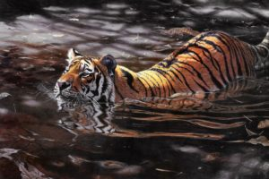 , Swimming, Tiger, Animal, Art