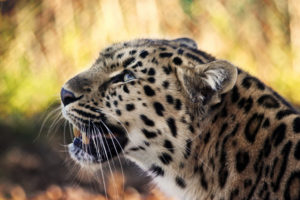 animals, Leopards