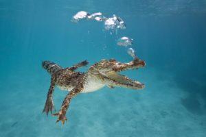 crocodile, Underwater