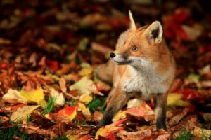 fox, Leaves, Autumn