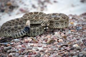 snake, Reptile, Snakes, Predator, Rattlesnake, Ye, Jpg