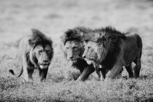 nature, Animals, Grayscale, Lions, Wild