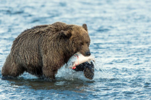 animals, Bear, Fishes, Water, River, Predator, Nature, Wildlife, Fishing, Hunt