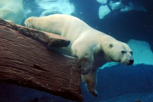 polar, Bears, Animals, Underwater, Swim, Fur, Water, Stare, Ice, Nature, Wildlife, Predator
