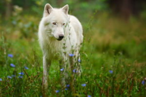 animals, Wolf, Wolves, Fur, Ears, Nose, Eyes, Landscapes, Nature, Grass, Fields, Flowers, Wildlife, Predator
