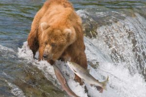 grizzly, Bears, Salmon, Predator, Fishes, Wildlife, Nature, Waterfall, River, Stream, Fishing, Swimming, Motion