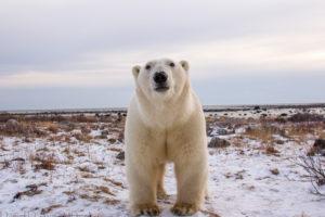 polar, Bear, Animals, Bears, Face, Eyes, Pov, Nature, Wildlife, Predator, Winter, Snow, Seasons
