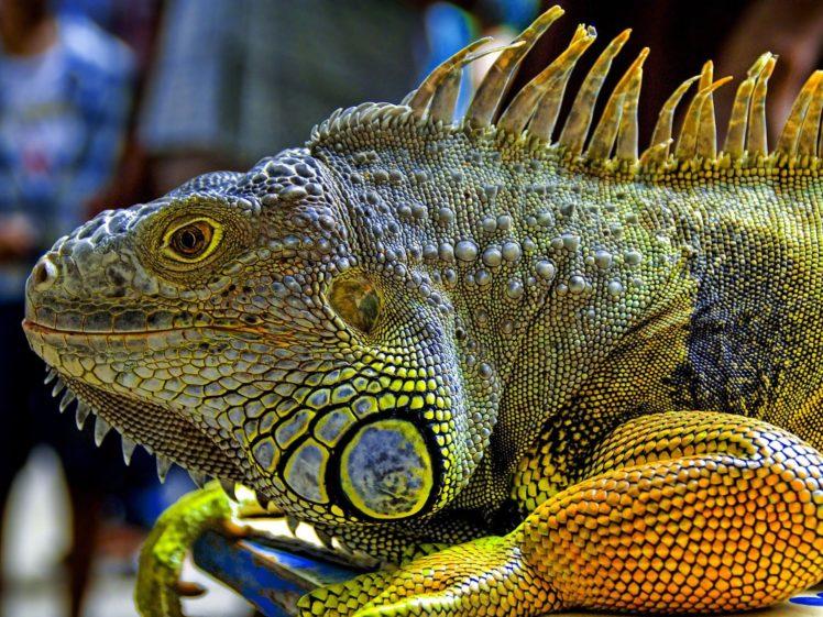 close up, Reptiles, Iguana HD Wallpaper Desktop Background