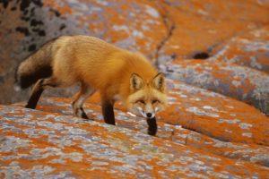 red, Orange, Canada, Foxes