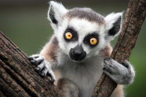 lemur, Primate, Madagascar,  56