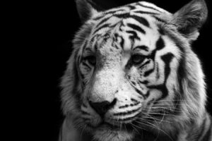 animals, Tigers, Feline, Monochrome, Black, Background