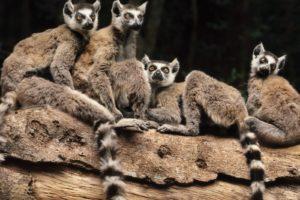 animals, Madagascar, Lemurs