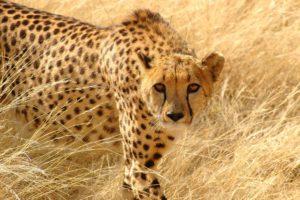 animals, Cheetahs, Feline