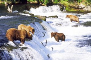 grizzly, Bears, Alaska, Fishes, Salmon, Rivers, Nature