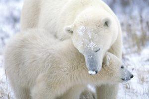 nature, Animals, Polar, Bears, Baby, Animals
