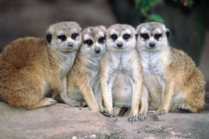 animals, Meerkats, Mammals
