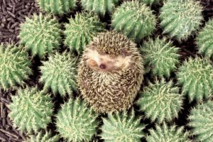 animals, Hedgehogs, Cactus